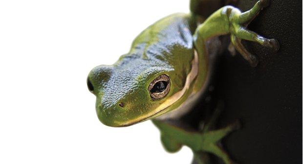 Nafouknuté žáby: Plíce jako tlumič