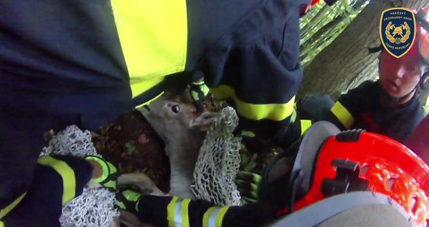 Neklidné zvíře se zmítalo, tři hasiči měli co dělat, aby jej při vyprošťování udrželi.