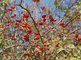 Začínají podzimní šípkové žně! Jak je nasbírat, usušit a zpracovat?