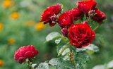 7 ověřených tipů, jak pečovat o zahradní růže
