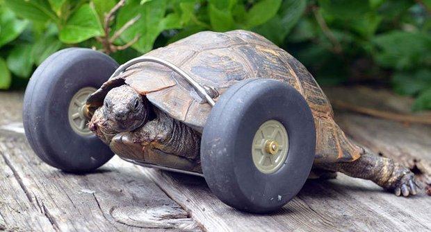 Terénní želva: Krysy ji užraly nohy, takže dostala kolečka