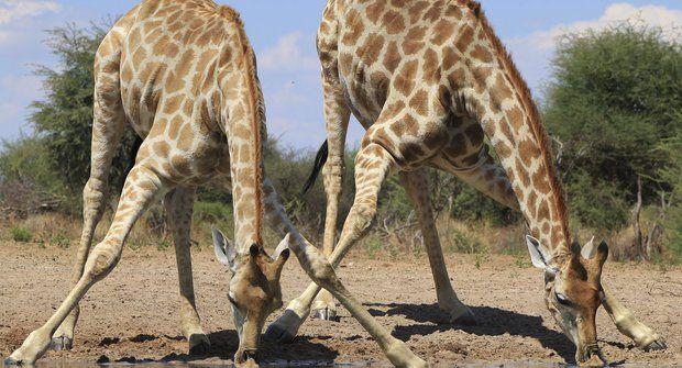 Tajemství štíhlých nohou: Proč žirafa ve spánku neupadne