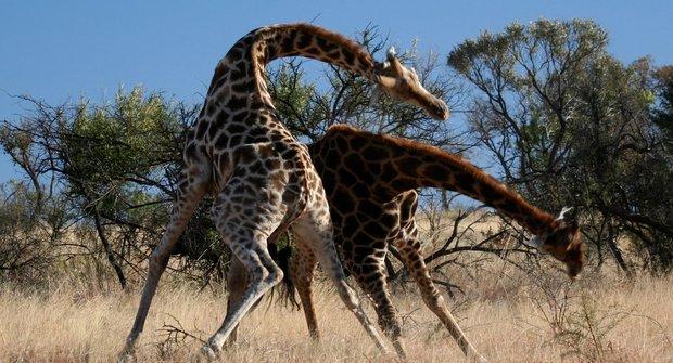 Smrtonosné žirafí zbraně
