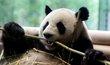 Angela Merkelová a Si Ťin-pching otevírají nový pavilon pro pandy v berlínské zoo