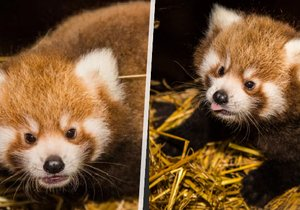 The red panda twins were born for the first time in the Prague Zoo.
