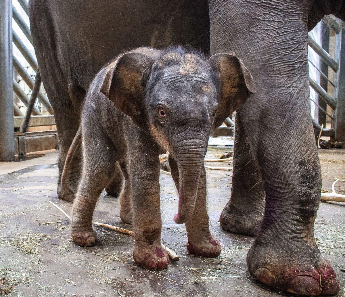 Samice slona indického Janita porodila svého druhého potomka po dlouhých 683 dnech březosti. S prvorozeným slůnětem Maxem byla Janita březí podstatně kratší dobu – 639 dní.