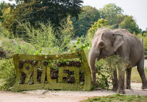 The elephant group at the Prague Zoo also received a gift for the 90th anniversary.