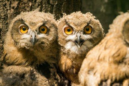 Dospělý samec budí značný respekt.   Mláďata výra velkého se vylíhla v ostravské zoo v květnu.   Před vypuštěním dostali vysílačky.