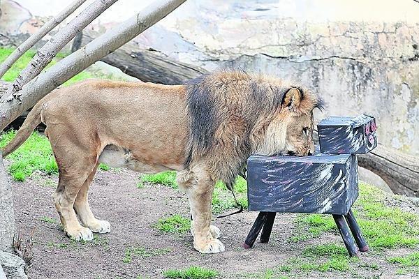 Lev se pobavil, žrádlo našel, prase je přemoženo.