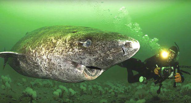 Nejstarší žralok světa: Může mít až 512 let
