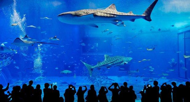 Žralok velrybí: Obr v akváriu