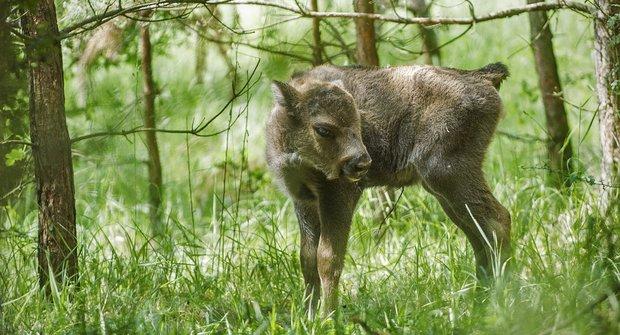 Mláďata v Milovicích: Do Čech se vrací megafauna