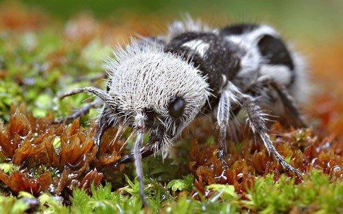 Mravenčí panda