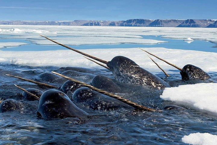 Narval neboli mořský jednorožec