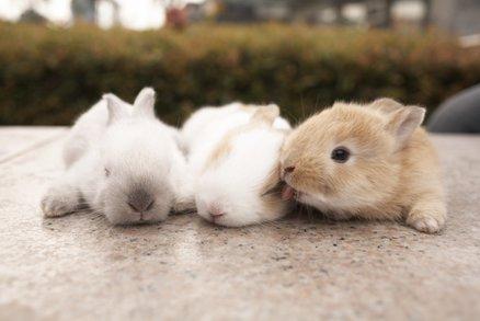 Čínská delikatesa: Marinované králičí mozky jedí rovnou z lebky