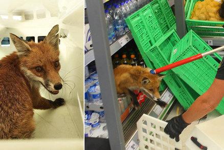 Lišku z plzeňského Penny marketu utratili: Mohla přenášet nemoc