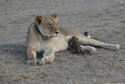 """Divoká lvice kojí leopardí mládě. Expertovi z fotek """"spadla čelist"""""""
