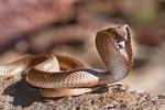 Zemřel malajsijský »zaříkávač hadů«. Uštkla ho kobra