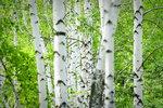 Sháníte dřevo do kamen? Vysaďte si rychlerostoucí stromy!