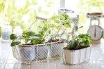 4 největší chyby při pěstování bylinek za oknem