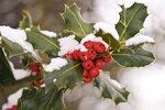 Zimní krása: Cesmína je celoroční krasavice