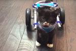 Malý zázrak: Koťátko s amputovanými nožičkami chodí díky speciálnímu vozíčku