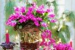 Osvědčené rady, díky kterým vám vánoční kaktus letos zase vykvete
