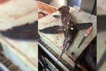 Chytili mimozemskou rybu? Monstrum z hlubin má zářící oči, křídla místo ploutví a bodec na tlamě