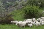 Stáda ovcí na návštěvě Prahy: Spolu s kozami a skotem pomáhají spásat pastviny