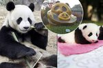 Nejrozkošnější místo světa: Tady se rodí pandy! Blesk se jim koukl do pelechu