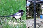 Lidé pomocí mobilů zachraňují ptáky. Hlásí zastávky, kde jim hrozí smrt
