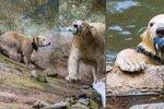Strach o život medvědic Cory (17) a Norii (6 měs.): Mohou za to návštěvníci zoo