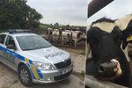 Muže na Nymbursku rozmačkal býk: Natlačil ho na železnou ohradu