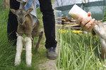 V pražské nemocnici se narodil postižený muflon. Díky péči lidí začal chodit