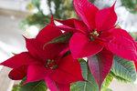 Vánoční hvězdu nevyhazujte, umí se červenat každý rok. Jak to zařídit?