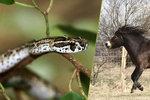 Nejnebezpečnější zvíře Austrálie? Není to had ani žralok, ale kůň