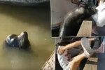Děsivé video ze zoo: Lachtan stáhl holčičku pod hladinu!