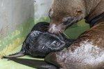 Radostná zpráva z pražské zoo: Lachtaní samičce se narodilo mládě