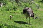Brutální útok na Chrudimsku: Surovec zbil pštrosa tyčí, zvíře museli utratit