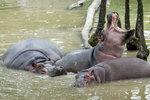 Mladý hroch ve dvorské zoo mezi staršími samicemi zemřel. Míří sem zkušený samec