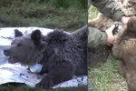 Medvědici dusil těsný obojek: Z trápení ji vysvobodili až pytláci kulkou