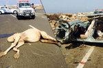 Řidička (†43) v teréňáku narazila do velblouda: Pět lidí zahynulo