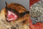 Brno v obležení netopýrů a ježků: Zoufalá zvířata se schovávají před zimou u lidí