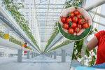Supermoderní skleník na Moravě: 40 tisíc sazenic rajčat už klíčí: Domácí cherry budou na přelomu roku
