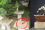 Pěstitel (62) oplakává čtyřicetiletou bonsaj: Zloději mu borovici ukradli ráno ze zahrady