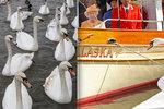Labutě královny Alžběty umírají: Sedm už jich zabila ptačí chřipka