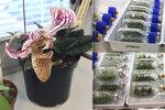"""""""Děti ze zkumavky"""" v botanické zahradě: Zachraňují tu rostliny, které v přírodě už nenajdete"""