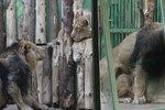 """Na lvy z pražské zoo """"přišlo jaro"""": Sohan a Suchi se oddávají páření už čtyři dny"""