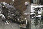 Mrazíky v pražské zoo: Tapír Punťa odjede do Amsterdamu později, tučňáci museli dovnitř