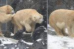 Vášnivá lední láska v pražské zoo: Na medvědy Toma a Bertu přišly touhy!